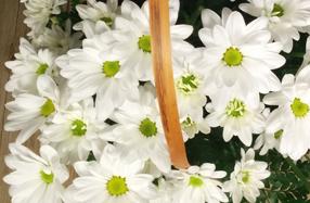 Alegre cesta de margaritas blancas
