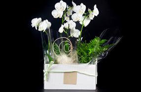 Conjunto de orquídeas Phalenopsis