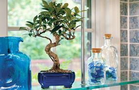 Bonsáis: el regalo ideal para amantes de las plantas
