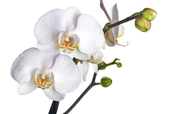 Orquídea Phalaenopsis, elegancia en casa