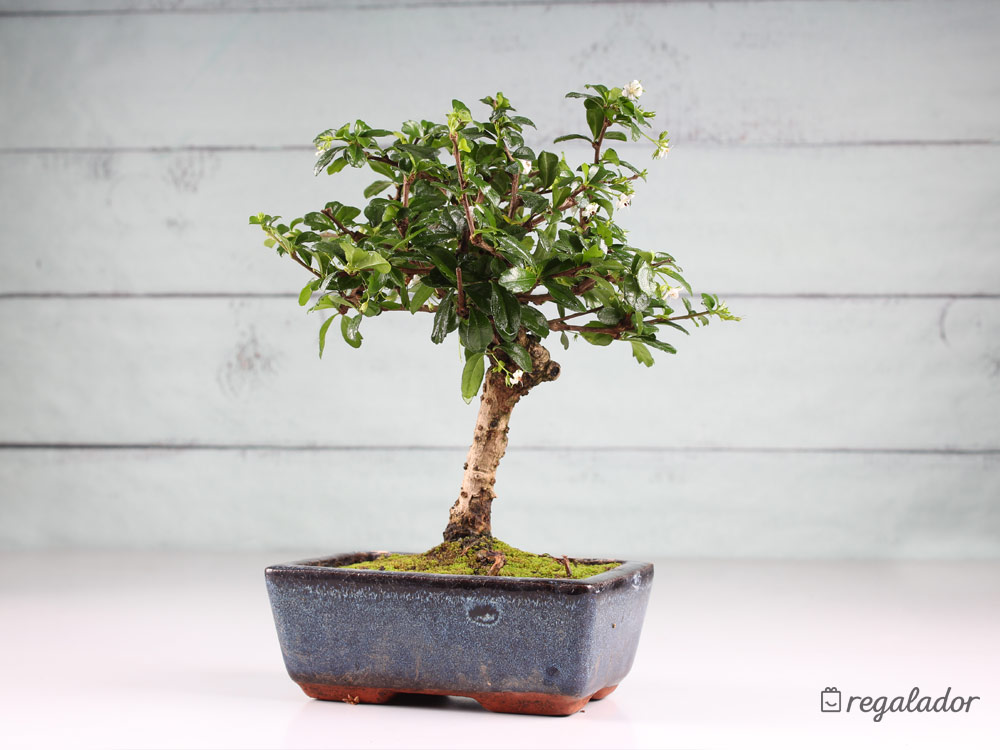 Bons is el regalo ideal para amantes de las plantas en - Plantas para bonsai ...