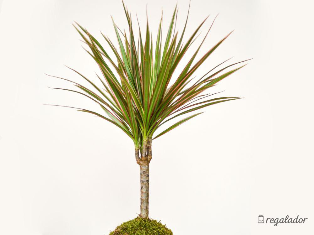 Kokedama: la planta que no necesita maceta en Regalador.com