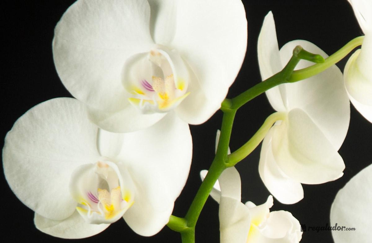 Conjunto de orquídeas Phalenopsis en Regalador.com